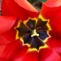 Tulip centre in the spring garden for Wordless Wednesday