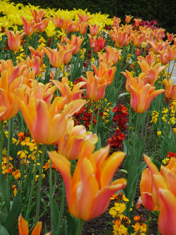 Tulips in Bishop's Palace Gardens