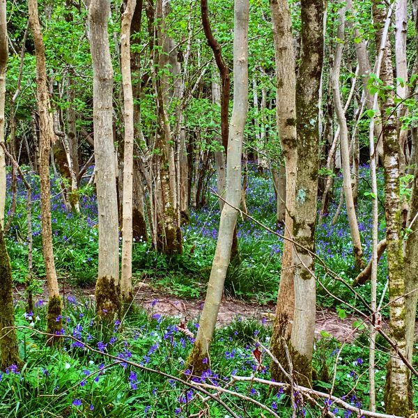 spring colour in the woods