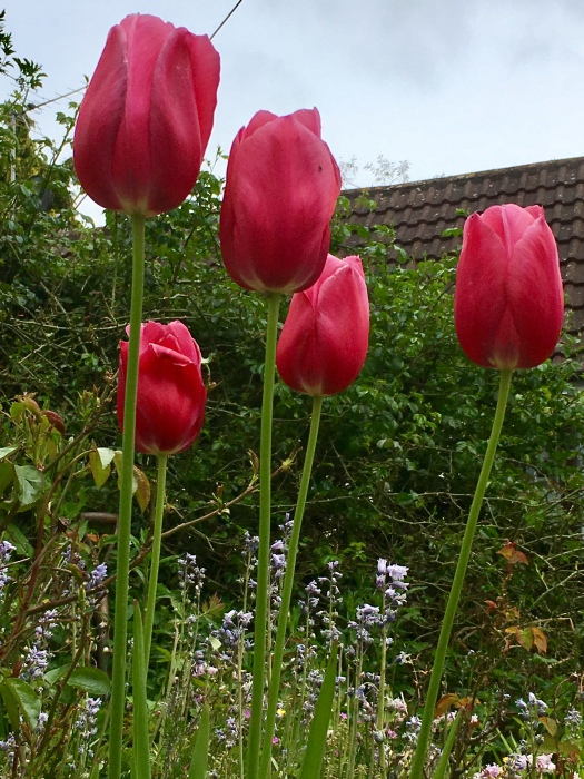Tulips mean Spring