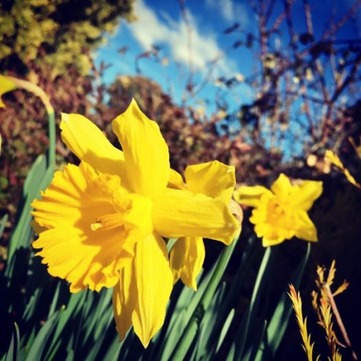 Home to sunshine, blue sky and daffodils