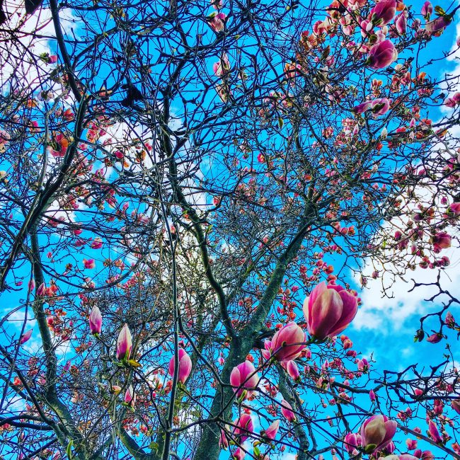 Looking up through the Magnolia tree