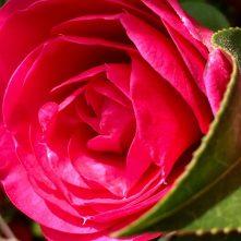 Camellia - bright and beautiful
