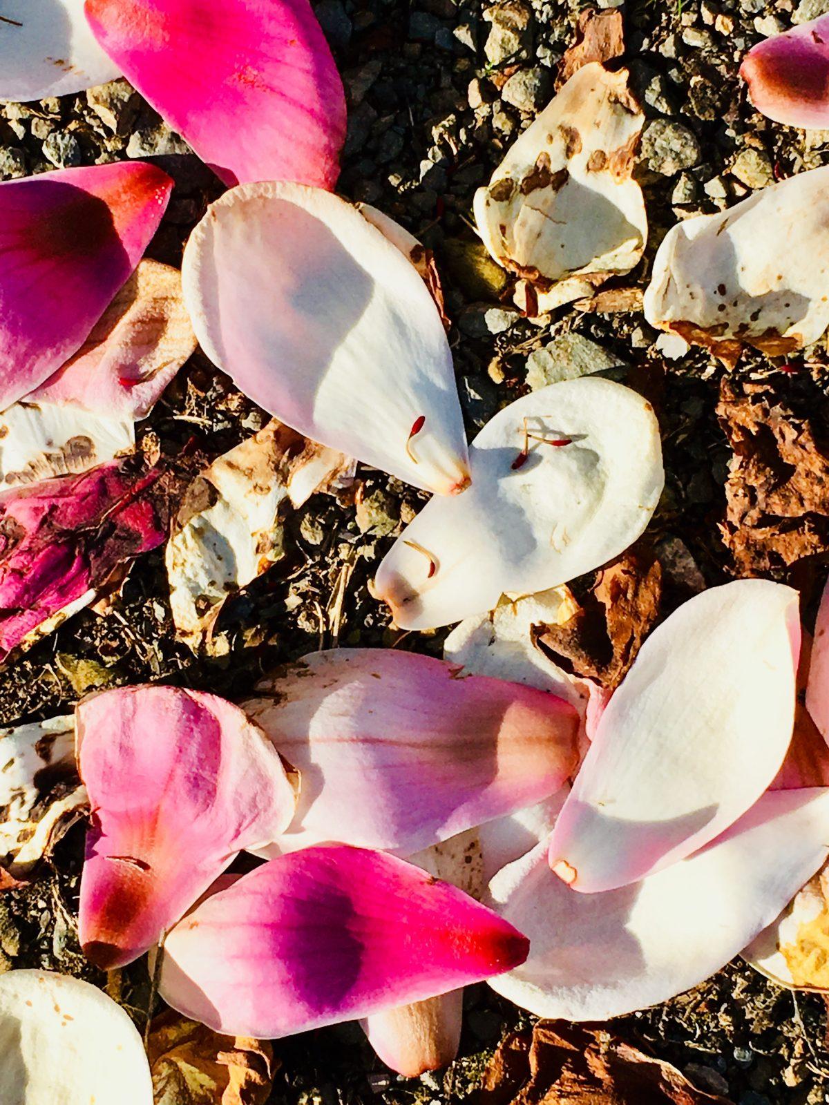Carpet of Magnolia petals