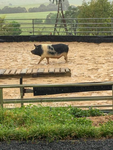 Errol the Pig at Boggy Creek Show