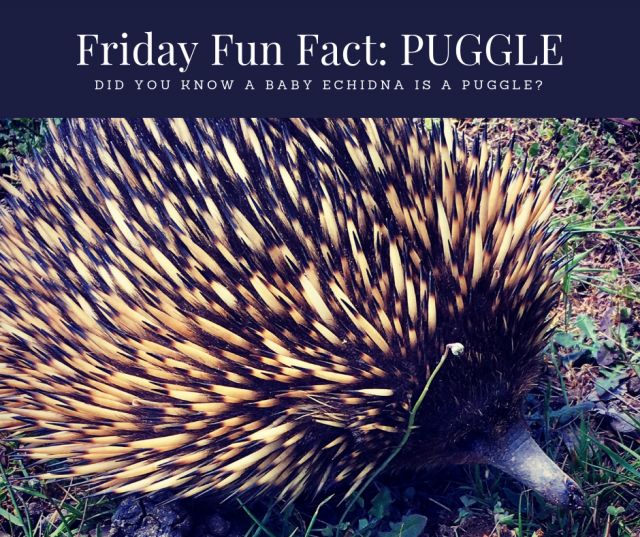 Friday fun fact about baby echidnas called Puggles