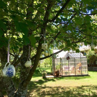 Tea Tree in my garden