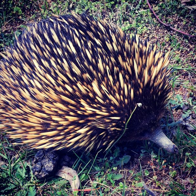 Echidna in the paddock