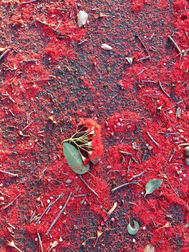 Red flowering gums in Melbourne