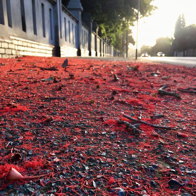 Red flowering gums
