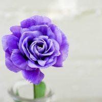 Purple Roses not Purple Rain