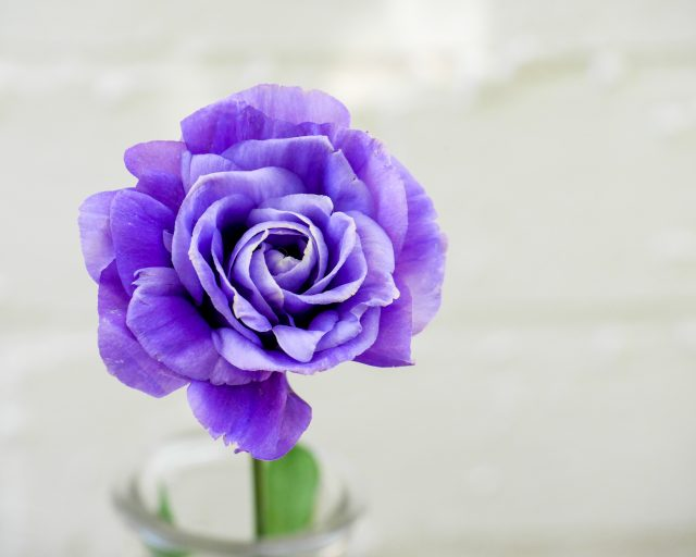 Purple rose