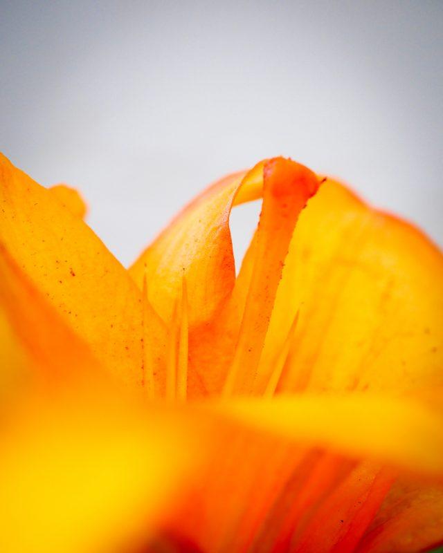 Orange lily #2