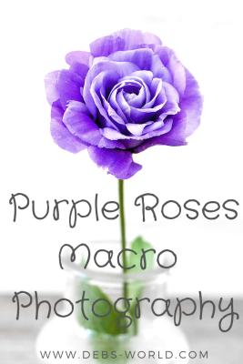 Purple roses, macro photography
