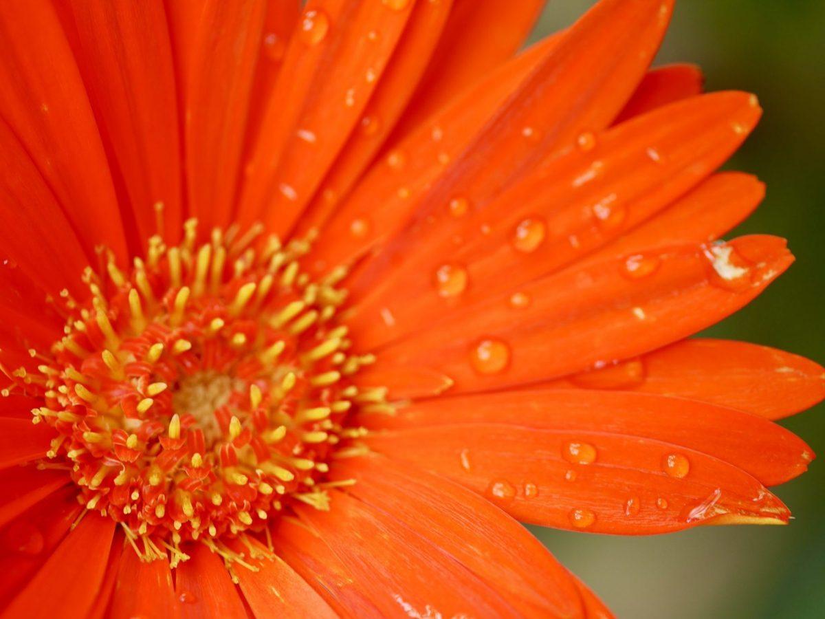raindrops on orange flower