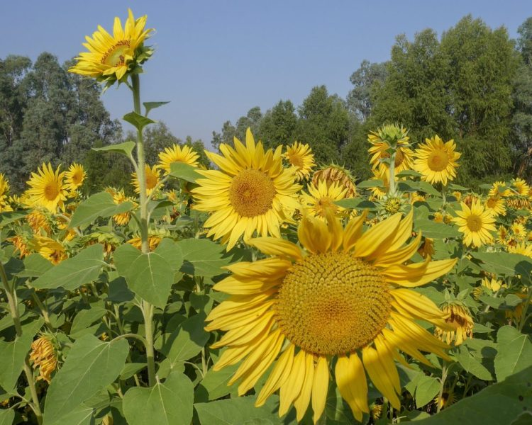 Sunflowers - green and gold