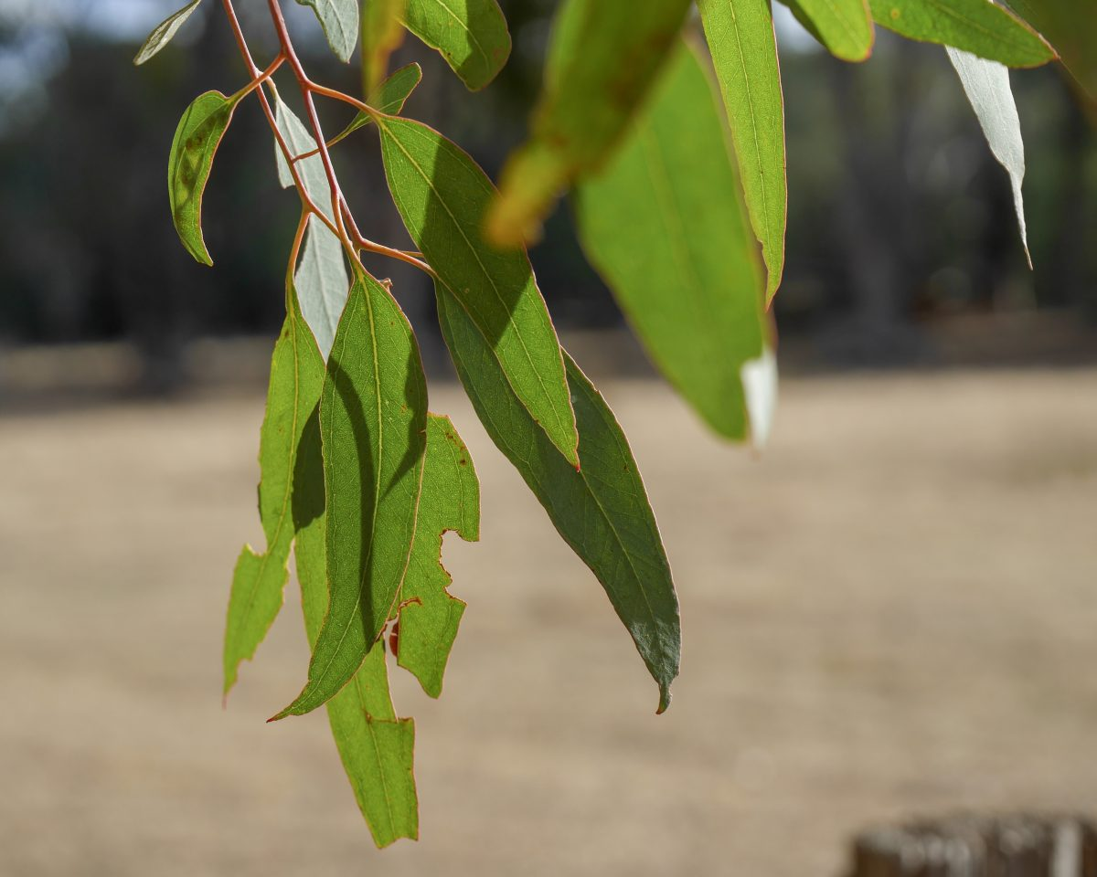 Green gum leaves