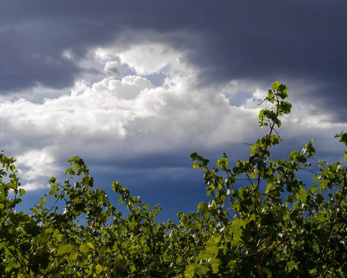 Stormy sky through the grapes