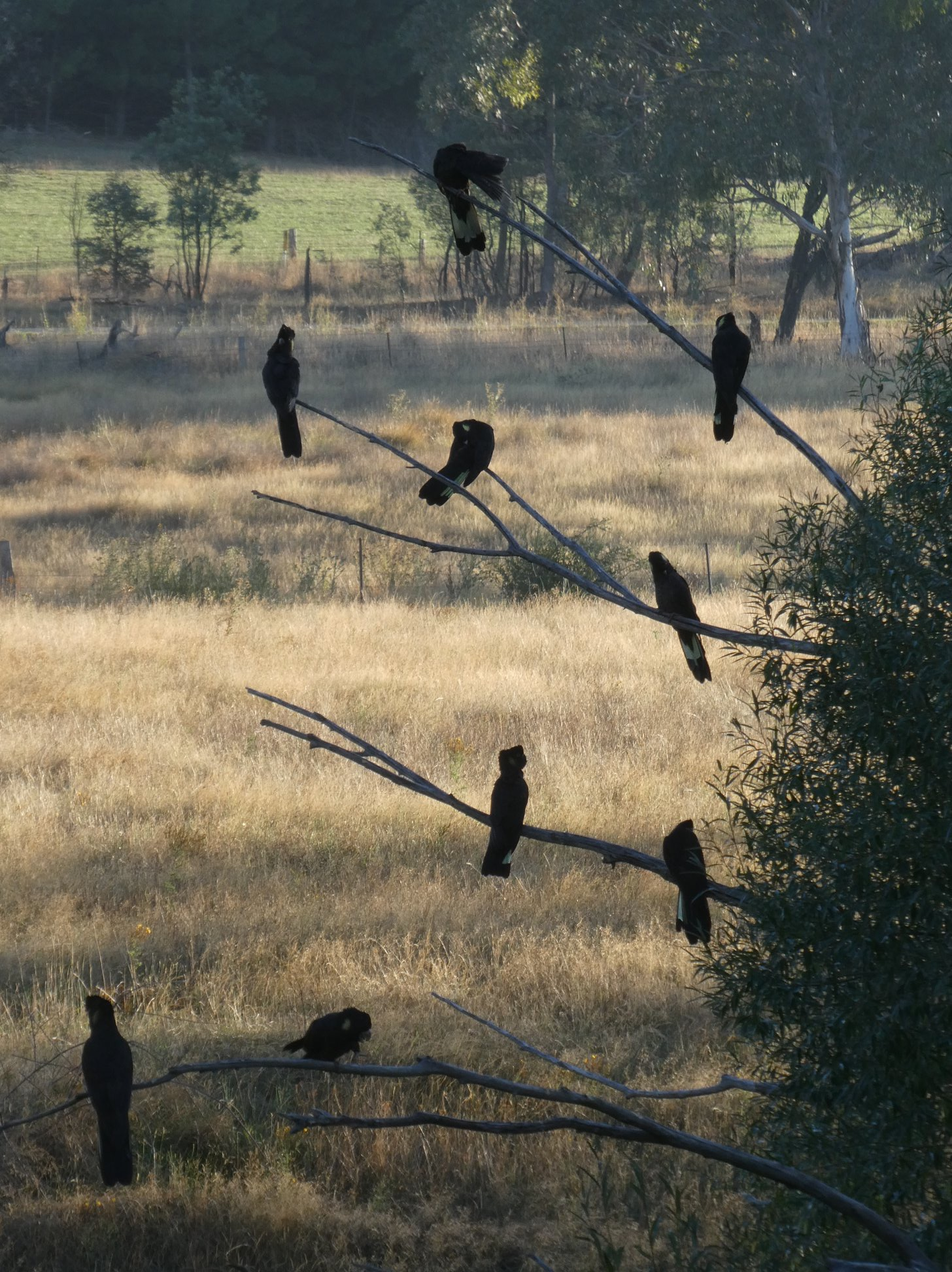 Black cockatoos along the rail trail