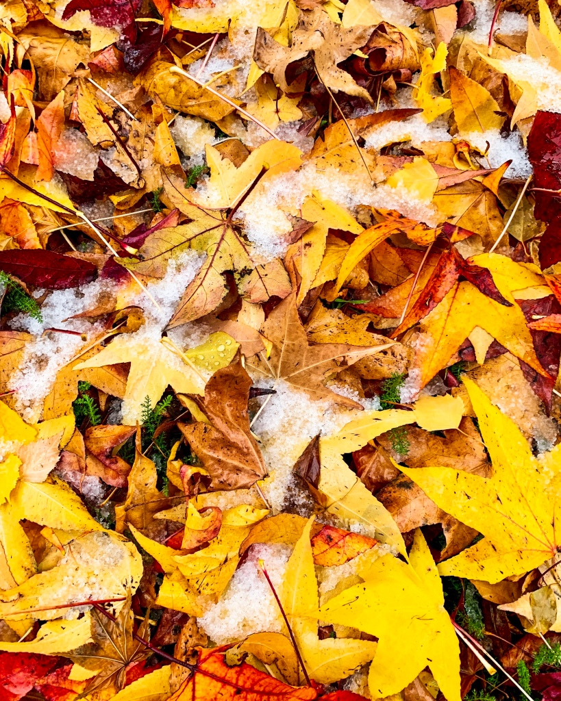 First snow fall for the year near Tumbarumba, mixed with beautiful autumn leaves