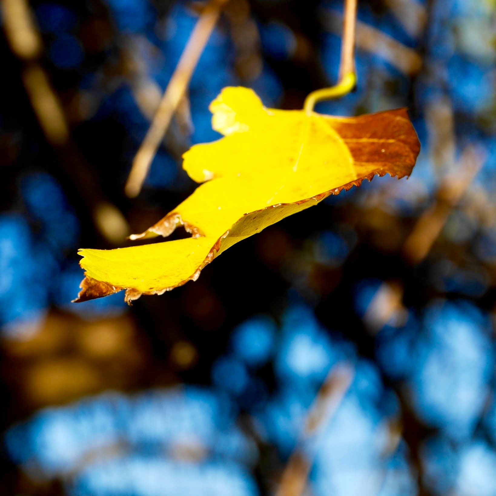 Autumn leaf hanging off the tree