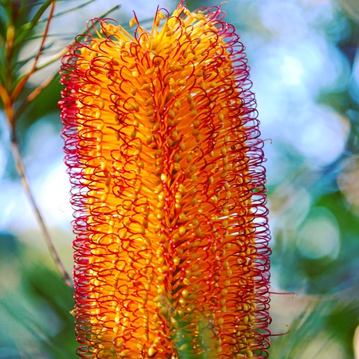 Banksia flower - Australian native