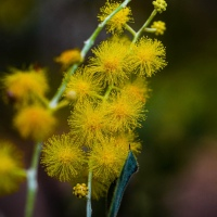 Wattle it be? - Wordless Wednesday