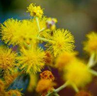 Wattle in close up