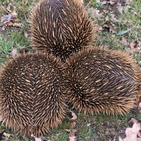 An Echidna love train on Wordless Wednesday