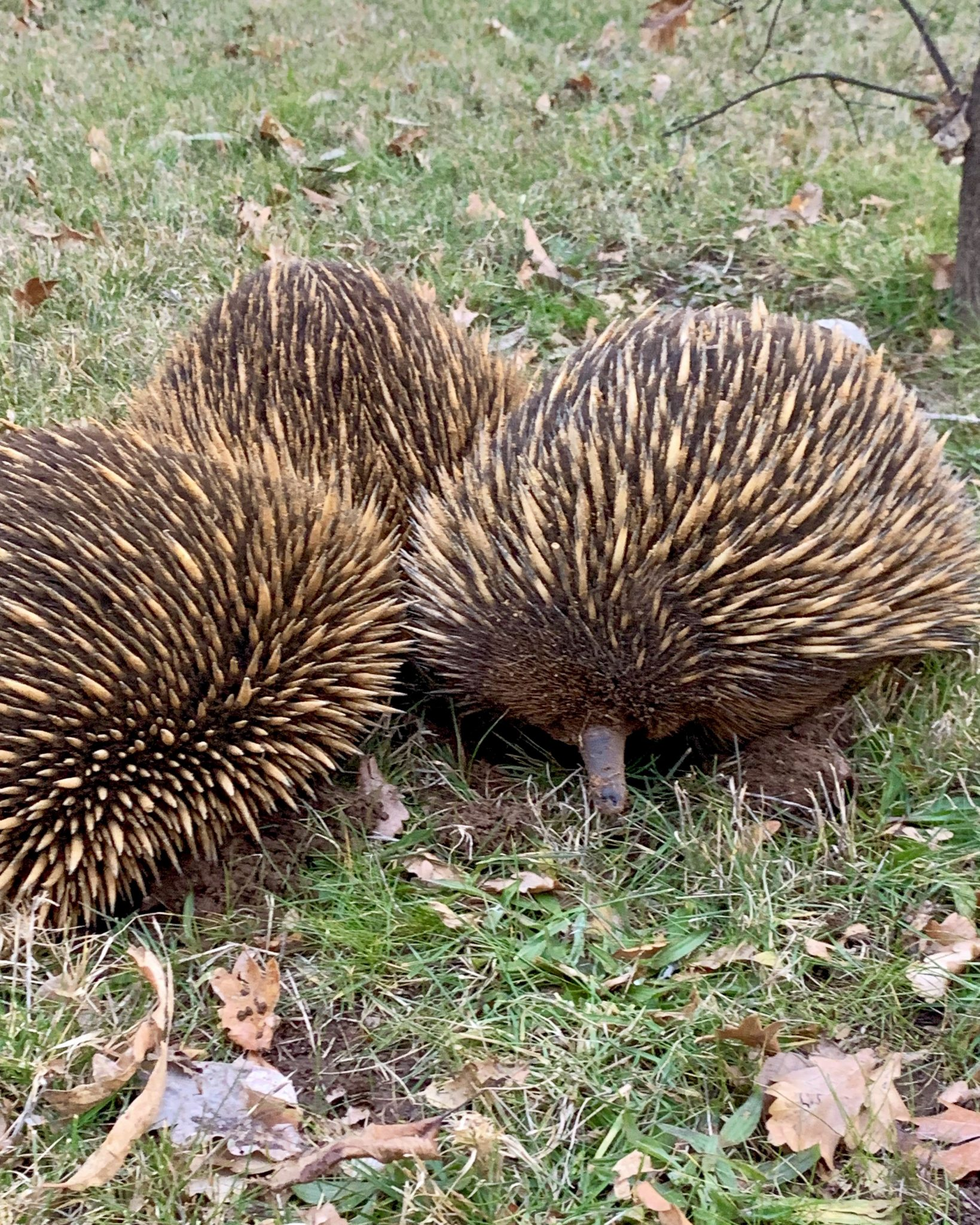 An echidna love train