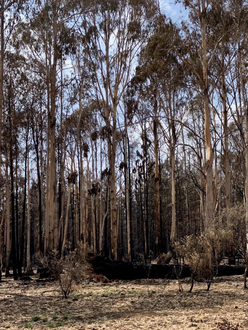 Burnt gum trees near Tumbarumba
