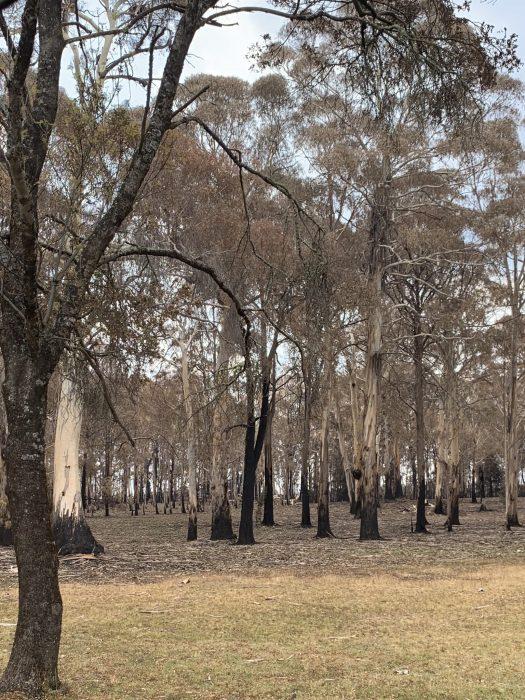 Burnt gum trees
