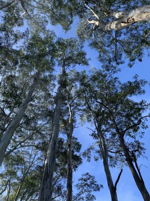 Gum trees - looking up