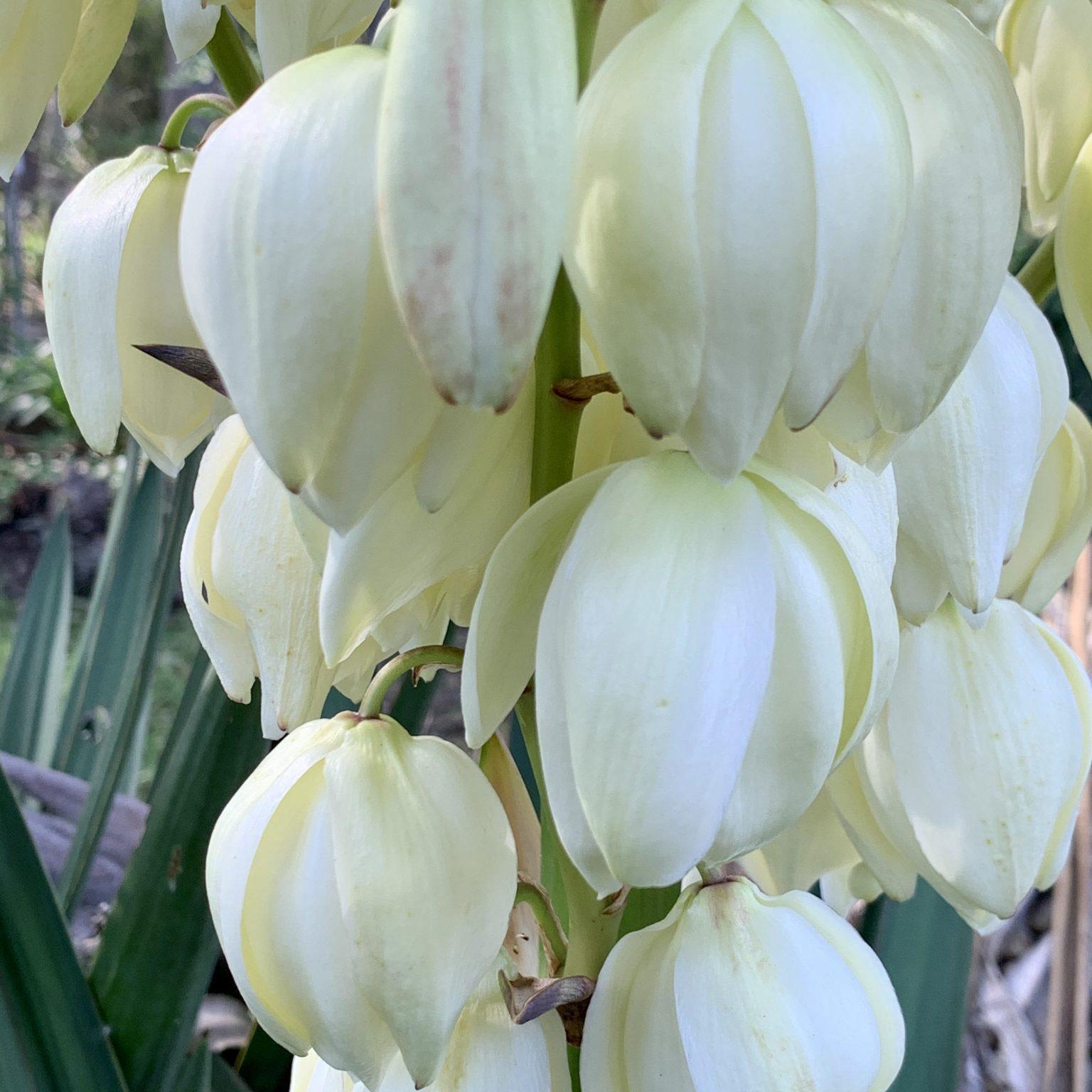 Yukka flowers
