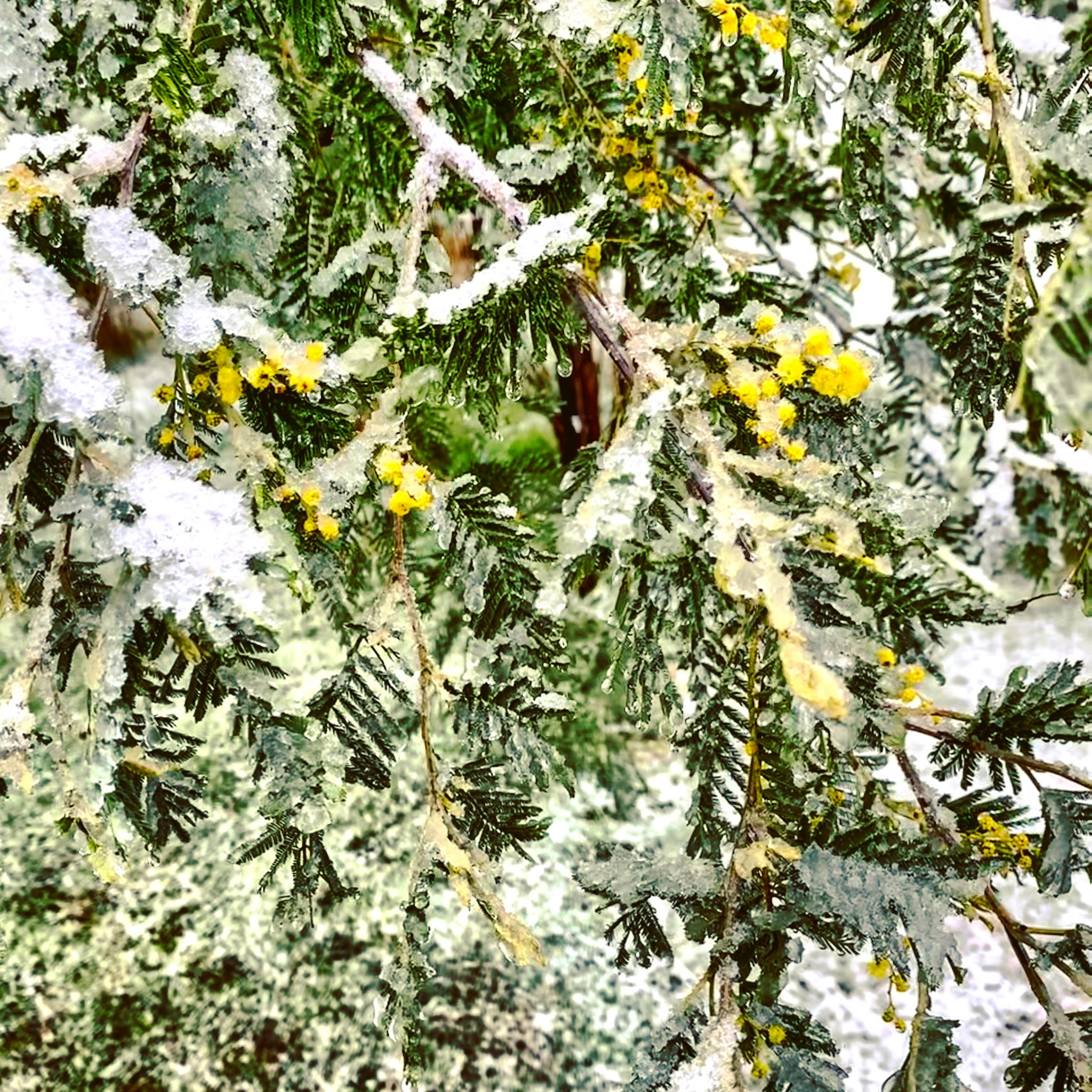 wattle meets snow