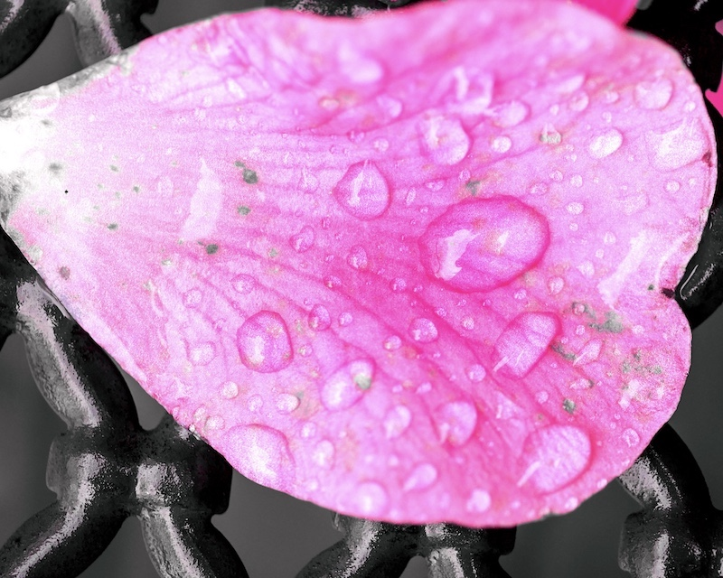 Camellia water droplets