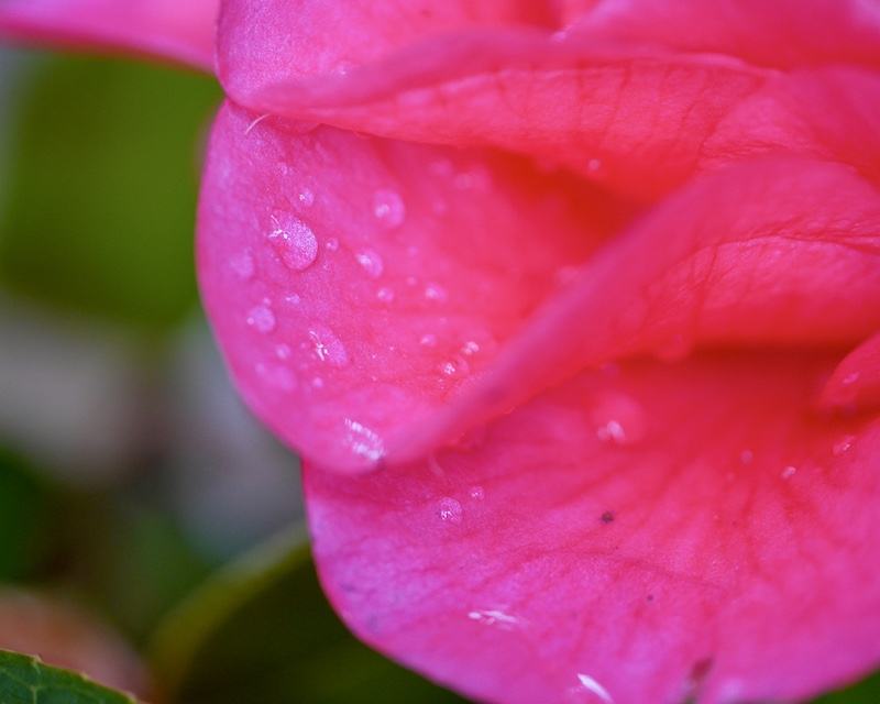 Water droplets on camellia