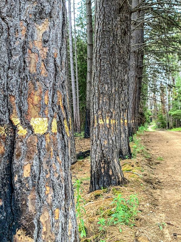 Avenue of trees at Pilot Hill Arboretum