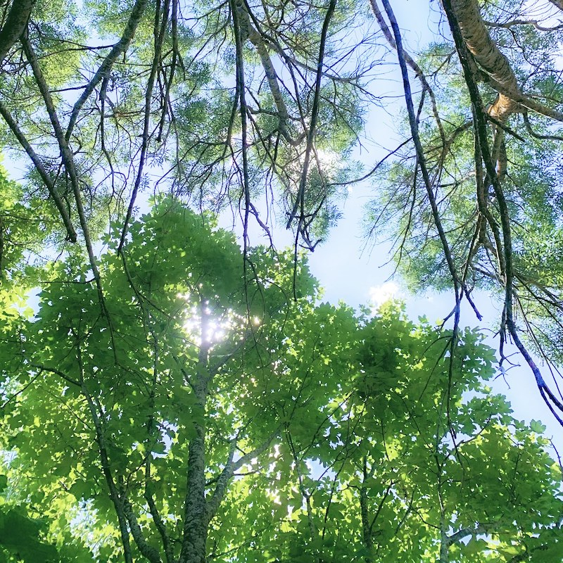 looking up through the trees from my hammock