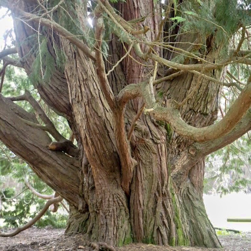 old tree full of wisdom