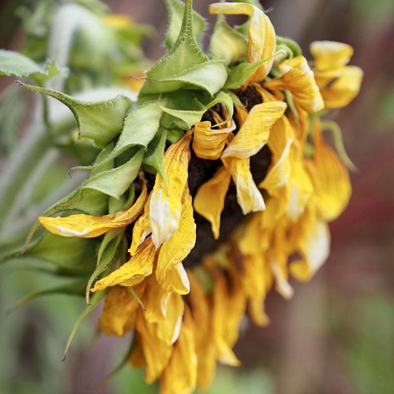 sad sunflower
