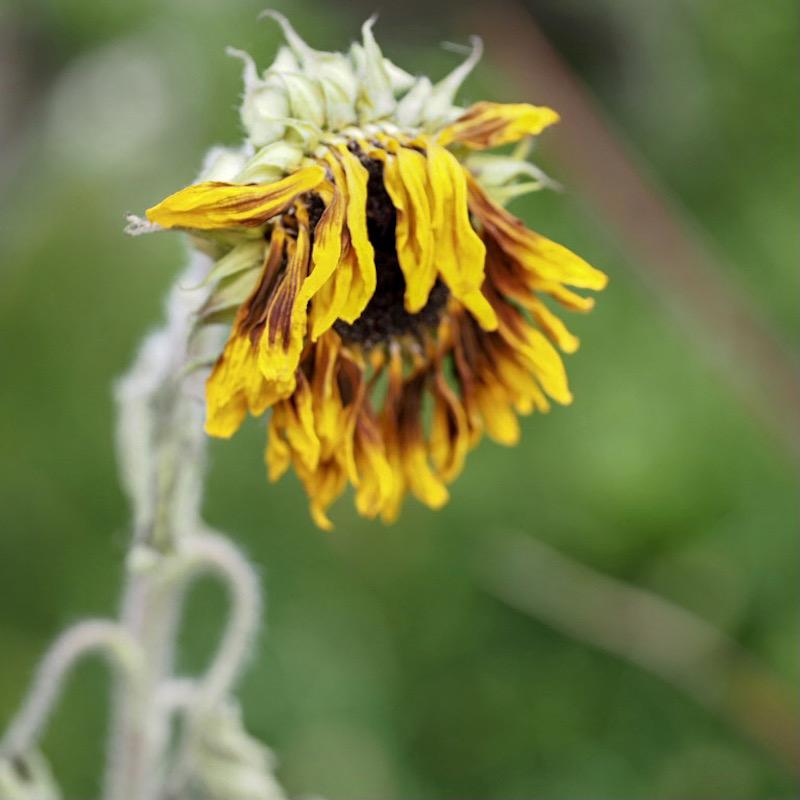 sad sunflower3