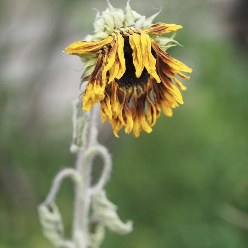 sad sunflower2