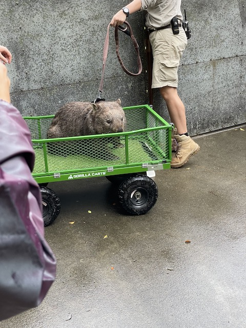 Ellie the wombat returning from her walk
