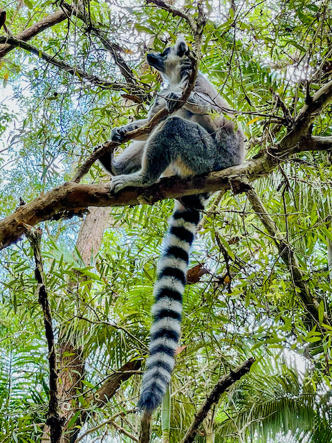 lemur - just hanging around