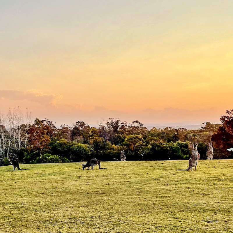 kangaroos at sunset