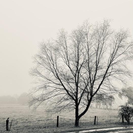 black and white tree in fog