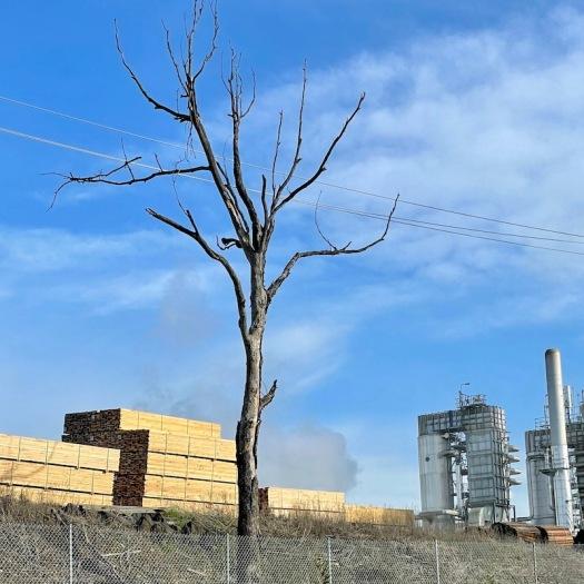 Hyne Timber Mill tree