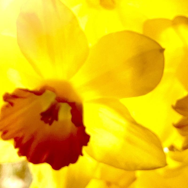 daffodils make me smile