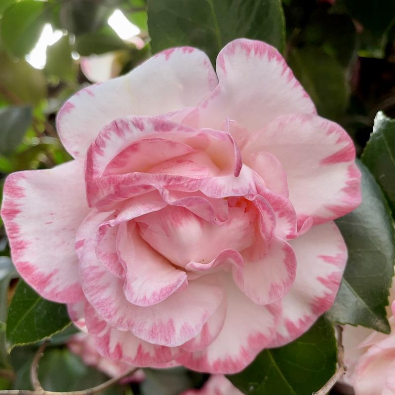 camellia in Spring